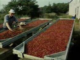 Bestand:De cranberry cultuur op Terschelling.ogv