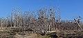 Dead trees - Tommy Thompson Park2.jpg