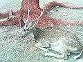 Deer of the island.jpg