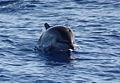 Delfino tra Panarea e Stromboli.jpg