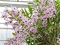 Dendrobium nobile-IMG 2111.jpg