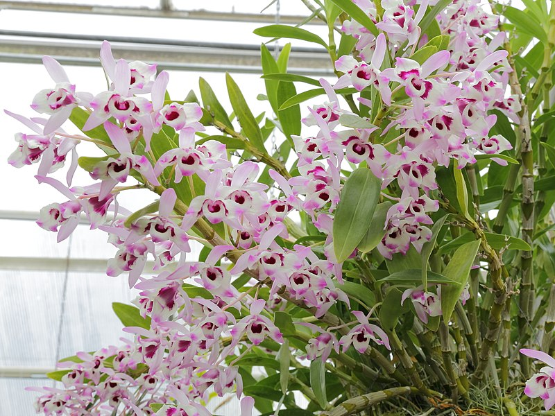 dendrobium nobile a psychoactive orchid with effects. Black Bedroom Furniture Sets. Home Design Ideas