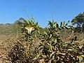Desmoncus orthacanthos - Climbing Palm (31730017146).jpg