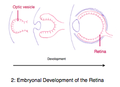 Development of the Retina.png
