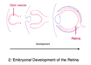 Evolution of the opposed cerebral hemisphere control - The convex stadium of the retina during evolution is mirrored in the embryonal development in form of the optic vesicle.