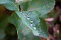 Dew (4171825375).jpg