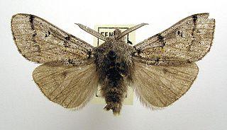 <i>Dicallomera fascelina</i> Species of moth