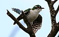 Diederik cuckoo, Chrysococcyx caprius (male), at Rietvlei Nature Reserve, Gauteng, South Africa (23525556512).jpg