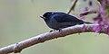 Diglossa plumbea -Limon, Costa Rica -male-8.jpg
