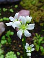 Dionaea muscipula 003.JPG