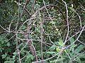 Diploclisia glaucescens (7232035478).jpg
