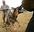Dog attack (USAF).jpg
