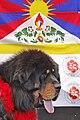Dogue du Tibet 1, Festival culturel du Tibet et des peuples de l'Himalaya 2013.jpg