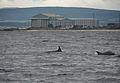 Dolphins in Cromarty Firth (1).JPG