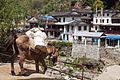 Donkey in Birenthanti (4525311577).jpg