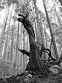 Dragon tree (B&W) (2912769139).jpg