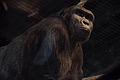 Drama in Bristol Zoo Gorilla House pt 4 (14481967093).jpg
