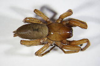 <i>Drassodes</i> Genus of spiders