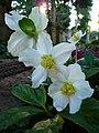 Drei Christrosenblüten.JPG