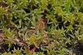 Drosera rotundifolia5.jpg