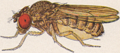 Drosophila mojavensis female.png
