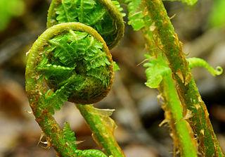 Mladé listy paprade samčej sú špirálovito stočené