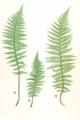 Dryopteris spp Moore17.png