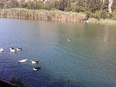 Ducks of Dalyan.jpg
