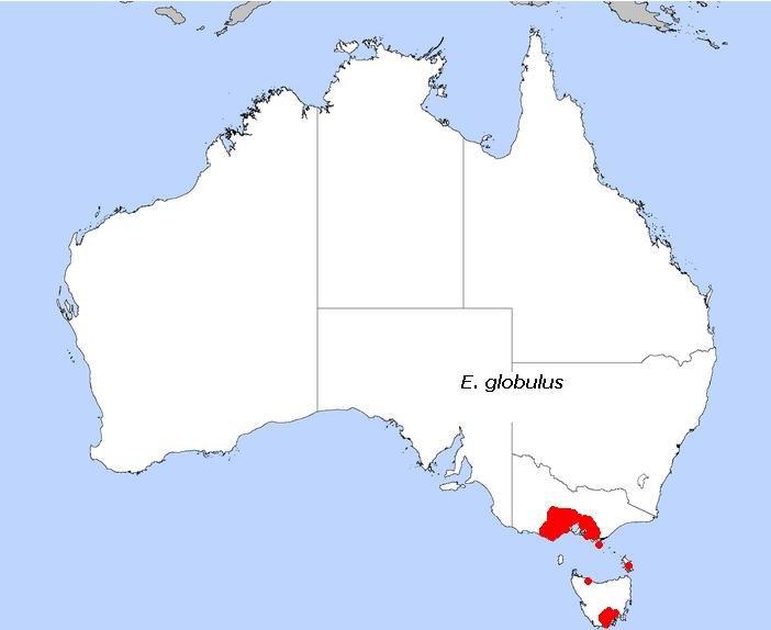 E. globulus