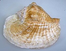 E goliath shell01