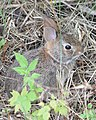 Eastern Cottontail (Sylvilagus floridanus) - Kitchener, Ontario.jpg