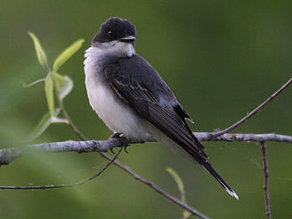 Aves in the 10th edition of Systema Naturae - The eastern kingbird was named Lanius tyrannus in 1758