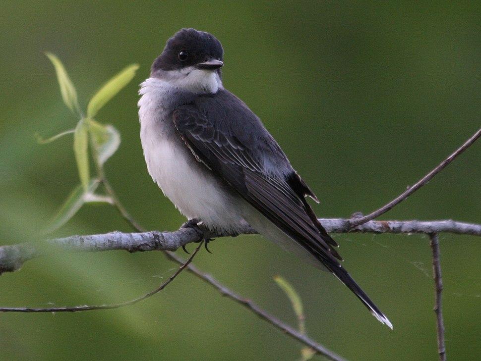 Eastern Kingbird (Tyrannus tyrannus) RWD