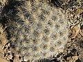 Echinocereus stramineus (5657628895).jpg