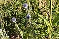 Echinops ritro-3004 - Flickr - Ragnhild & Neil Crawford.jpg