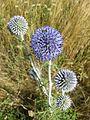 Echinops ritro subsp. ruthenicus sl6.jpg