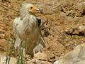 Egyptian Vulture Biblical Zoo 05.JPG