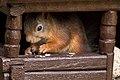 Ekorre (squirrel).jpg