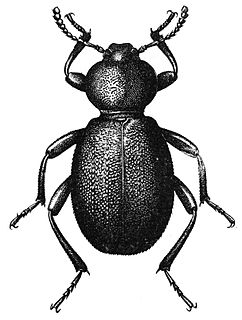 Pinacate beetle genus of insects