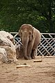 Elephants at Chester Zoo 5.jpg