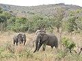 Elephants in Hluhluwe-Umfolozi, photographed from Highway 618 AJTJ.jpg