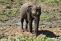 Elephants maximus du Parc national de Udawalawa (3).JPG
