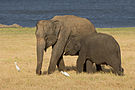 Elephas maximus maximus - 01.jpg