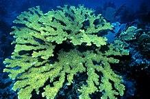 Elkhorn coral.jpg