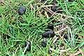 Em - Cervus elaphus elaphus feces - 2.jpg
