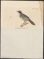 Emberizoides melanotis - 1700-1880 - Print - Iconographia Zoologica - Special Collections University of Amsterdam - UBA01 IZ16000273.tif