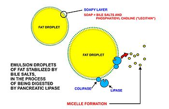 Fatty Acid Metabolism Wikipedia The Free Encyclopedia