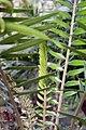 Encephalartos altensteinii 2zz.jpg