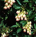 Enkianthus red-vein.jpg