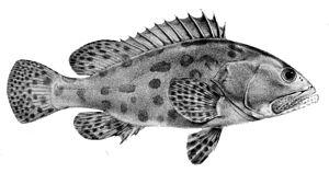 Potato cod - Image: Epinephelus tukula 1866